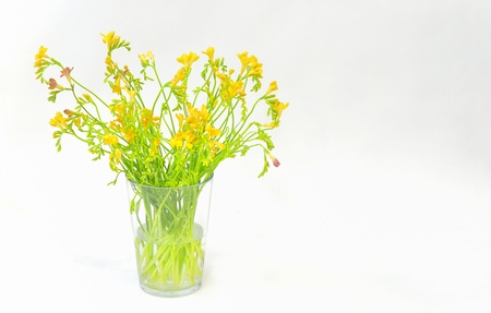 freesia flowers isolated Stock Photo - 16567260