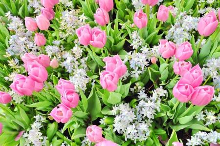 tulips Stock Photo - 17771072