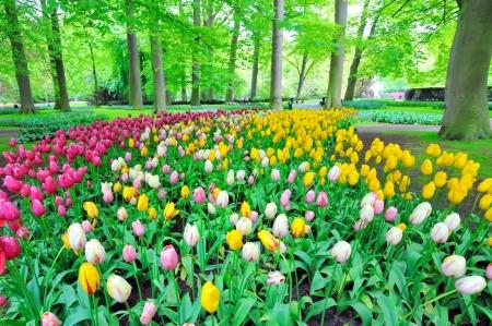 Garden of tulips Stock Photo - 17771076