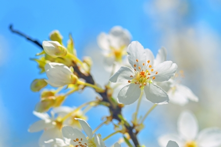 blossoming tree brunch with white flowers Stock Photo - 17748267