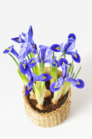 blue iris Stock Photo - 17931842