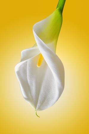 lirio blanco: cala blanca
