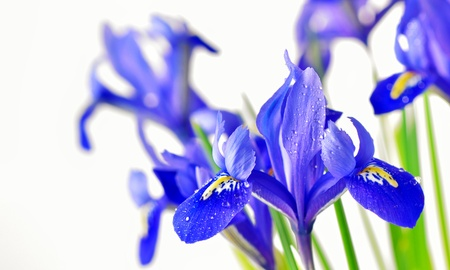 blue iris Stock Photo - 17931850
