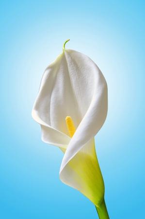 calla lily: white calla Stock Photo