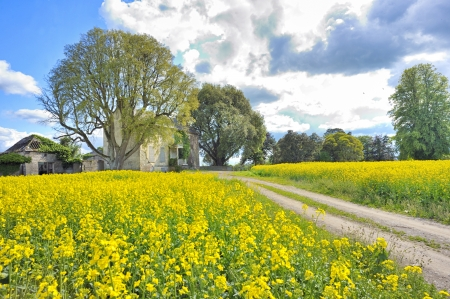 rapeseed field in spring time Stock Photo - 18116344