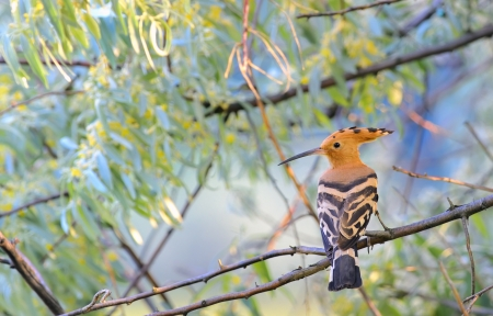 Hoopoe  Upupa epops Stock Photo - 18116348