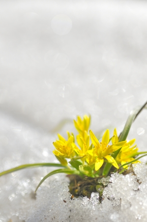 yellow spring flowers macro coming from ice Stock Photo - 18116369
