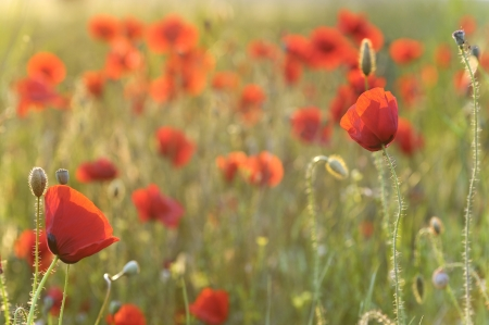 Field of poppies Stock Photo - 18247158