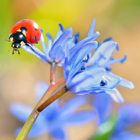 ladybug on blue flower on natural background
