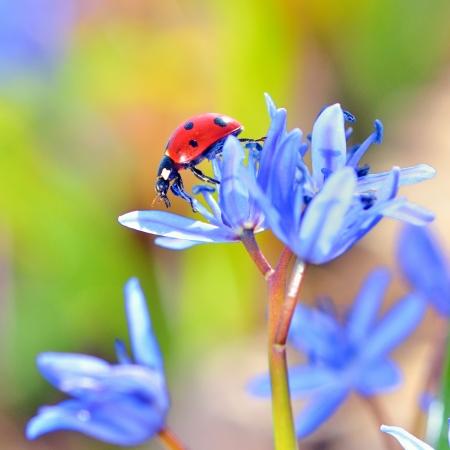 Single Ladybug on violet flowers Stock Photo - 18688793
