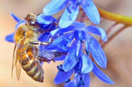 bee feeding on blue flower Stock Photo - 18688801