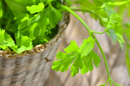 Parsley plant Stock Photo - 18688806