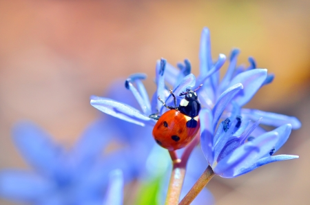 ladybug on blue flower on natural background photo