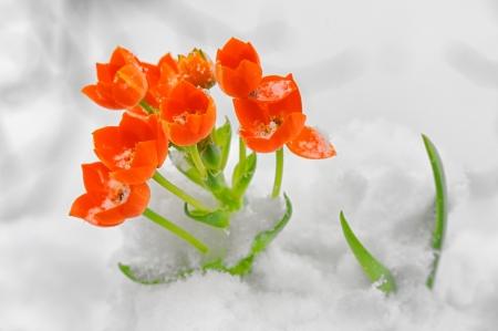 dubium: Snake Flower – Ornithogalum dubium in the snow