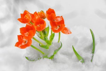 Snake Flower – Ornithogalum dubium in the snow Stock Photo - 18841874