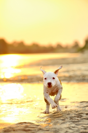 American Staffordshire terrier running on river edge Stock Photo - 18992387