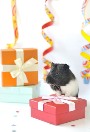 guinea pig and gifts shoot in studio Stock Photo - 19715267