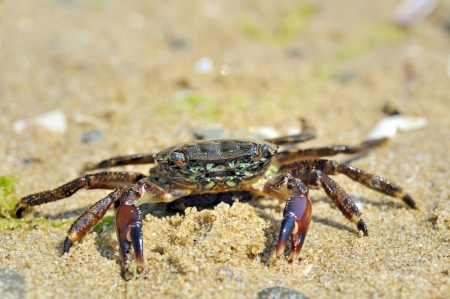 natural crab on the sand against the sea at beach Stock Photo - 20423804