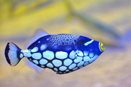 exotic butterflies: colorful butterfly-fish in an aquarium