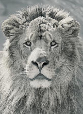 female lion: close up lion head in sepia