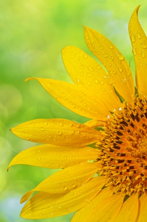 Sunflower with dew drops shoot in studio Stock Photo - 20764341
