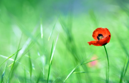 Red poppy (Papaver rhoeas) with out of focus  field in spring time Stock Photo - 20764373