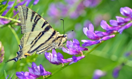 Swallowtail Butterfly shoot in spring time Stock Photo - 20764385