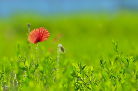 Poppy flower and sky shoot in garden Stock Photo - 20764399