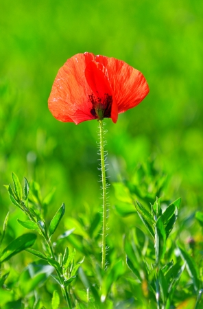 Red poppy (Papaver rhoeas) with out of focus field in spring time Stock Photo - 20764400