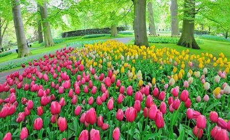 Tulips in garden in spring time Stock Photo - 20764473