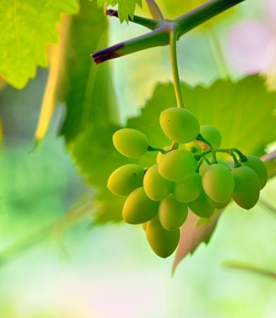 unripe grape in vineyard shoot in natural background Stock Photo - 21044738