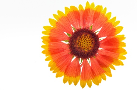 Gaillardia aristata on white background Stock Photo - 21044740
