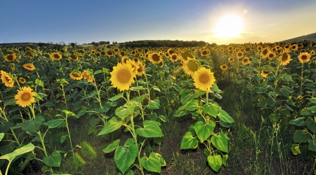 Beautiful landscape with sunflower field at sunset Stock Photo - 21044747