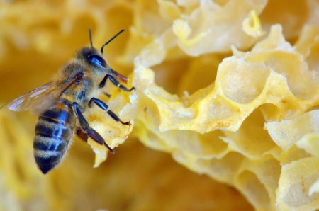 praiseworthy: details of honey comb and a bee Stock Photo