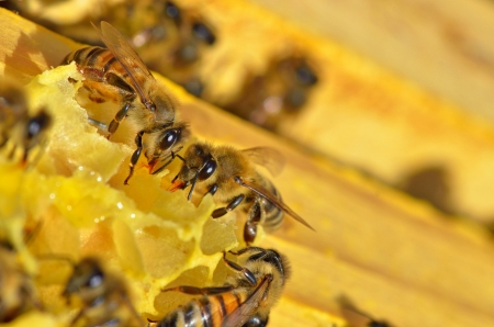 details of working bees on honeycells Stock Photo - 21451596