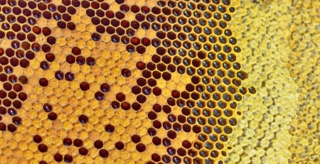 details of fresh honey in comb Stock Photo - 21451608