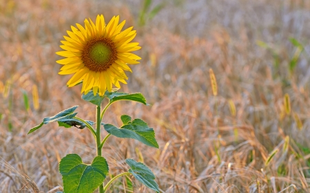 isolated sunflower in a field at sunset Stock Photo - 21451647