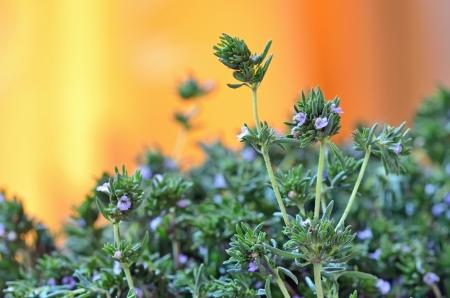 Fresh Thyme shoot in garden in summer time