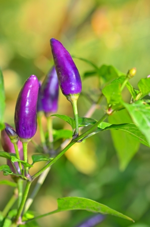 Purple bell pepper growing on vine in home garden Stock Photo - 21452116