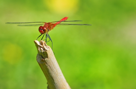 trithemis: red dragonfly sitting on a branch on natural background