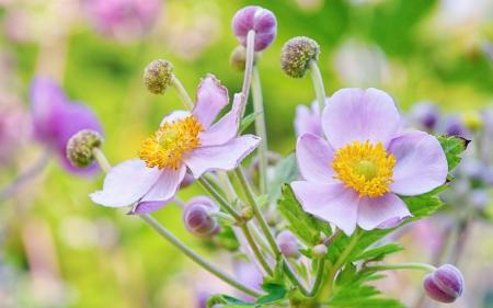 lila: lila flowers from botanical garden, macro
