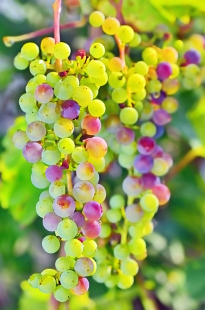 macro unripe grapes in a vineyard Stock Photo - 21452151