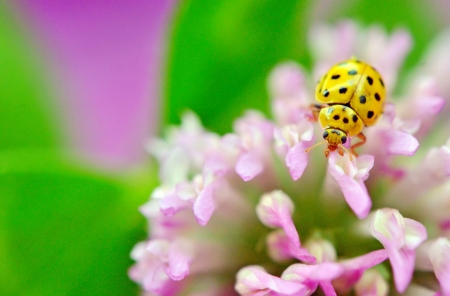 yellow ladybug on pink flower macro in nature Stock Photo - 21452157