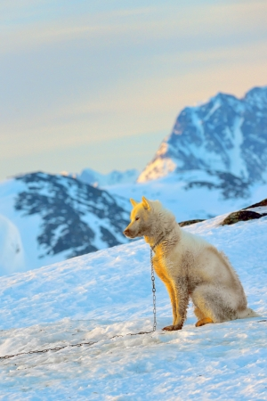 greenland dog and sunset in spring time Stock Photo - 21451991