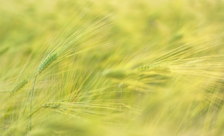 Ear of green wheat on the background of wheat field Stock Photo - 21451939