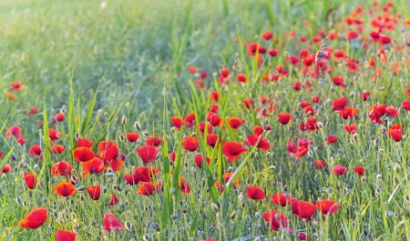 Field of Corn Poppy Flowers  in summer time Stock Photo - 21451943