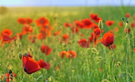 a poppy field close-up in summer day