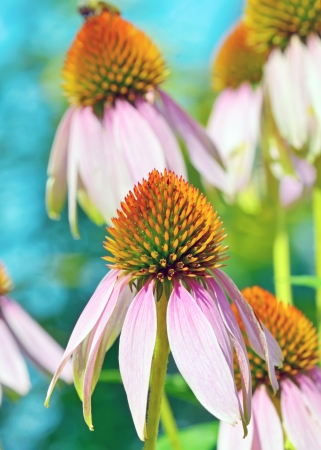 Pink Echinacea flowers in summer time Stock Photo - 21885630