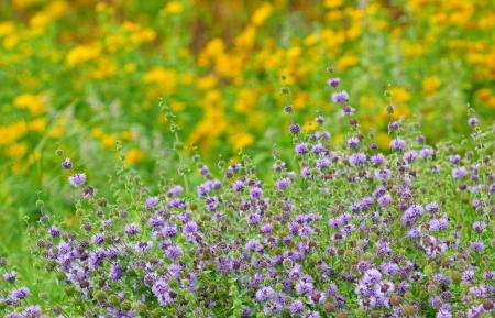 wild mint: wild mint on field in summer time; closeup