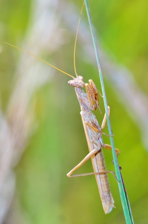 Mantis religiosa shoot in forest Stock Photo - 22116446